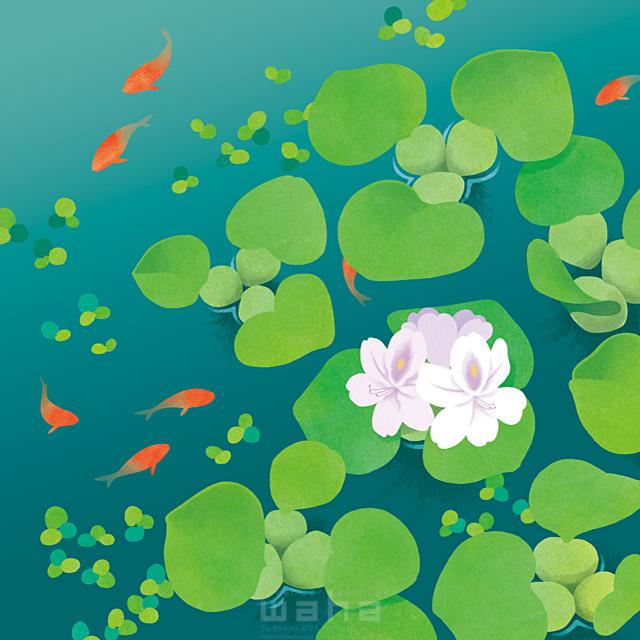 季節 夏 自然 植物 ほてい草 花 魚 水 池 エコロジー 優しい きれい 風景 イラスト作品紹介 イラスト 写真のストックフォトwaha ワーハ カンプデータは無料